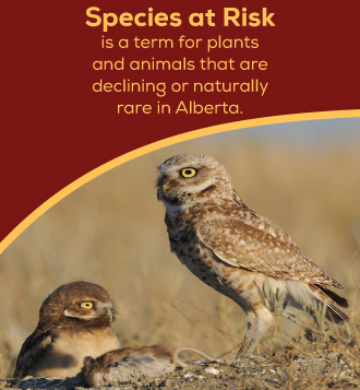 cBurrowing-owl-species-at-risk-text