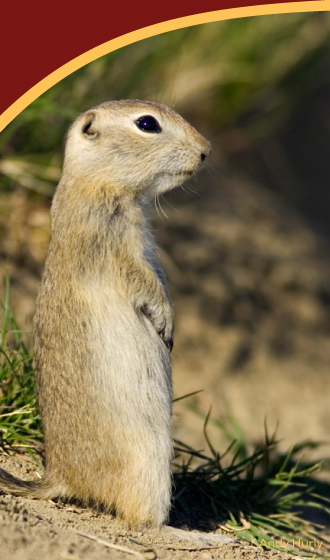 ground-squirrel
