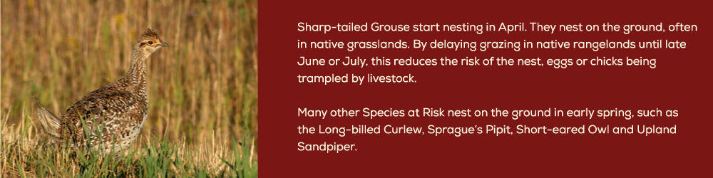 sharp-tailed-grouse-section